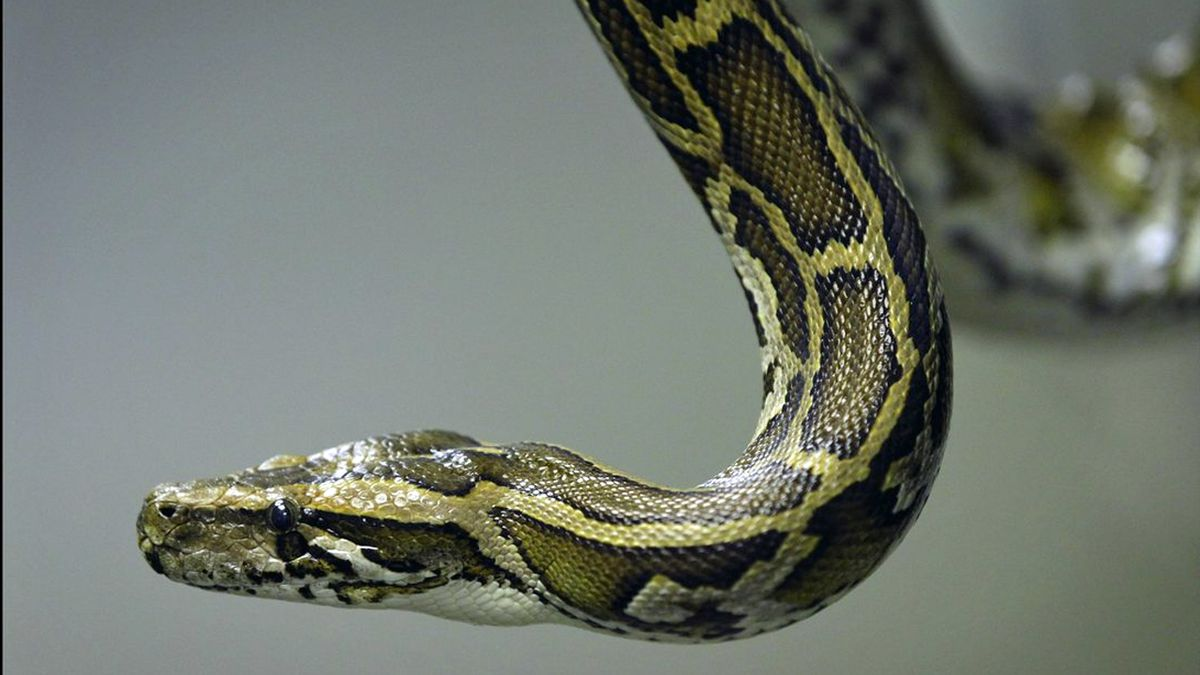 Milestone: Wildlife officials say 5,000 Burmese pythons removed from Everglades