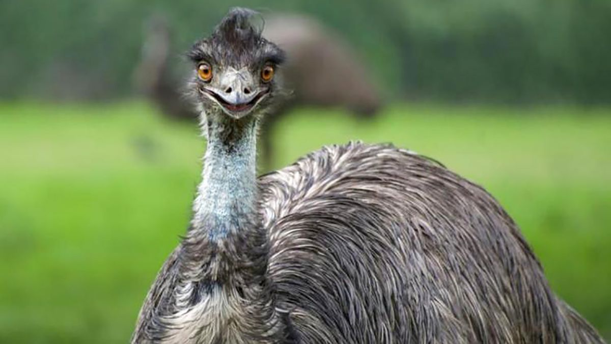 North Carolina officials find emu on the loose, create plan to capture him