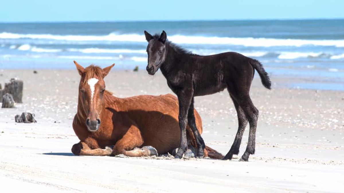 NC group warns fishermen to remove lines to protect wild horses