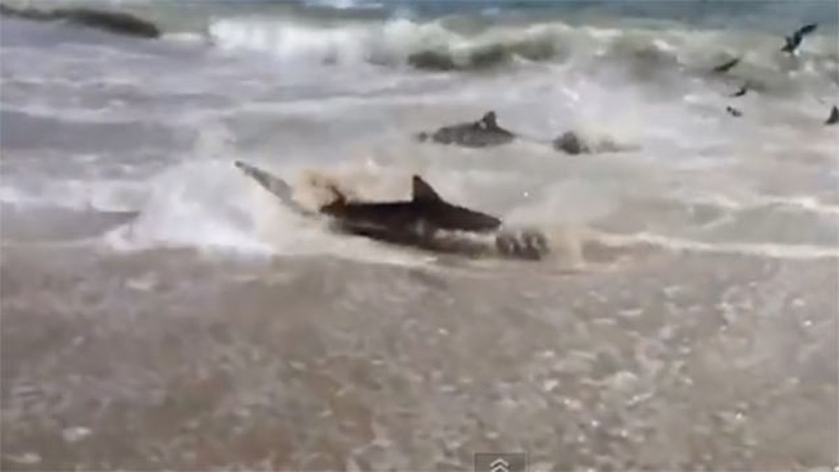 Caught On Camera Massive Shark Feeding On Nc Outer Banks