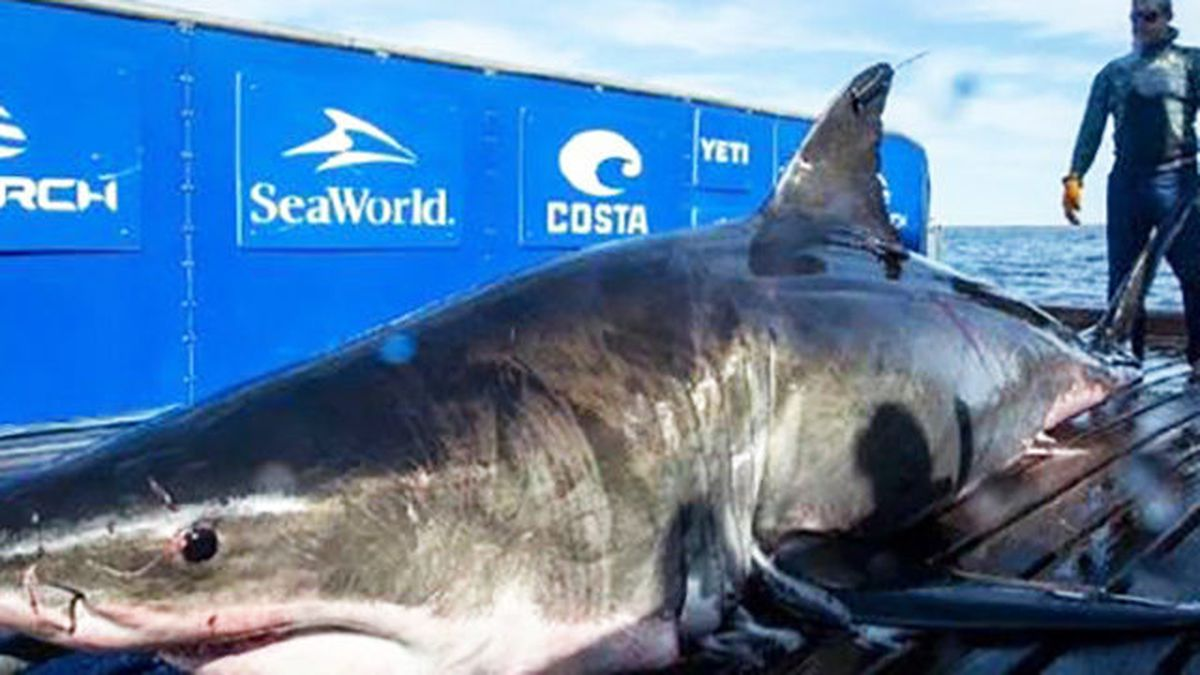 2 000 Pound Great White Shark Pings Near Myrtle Beach