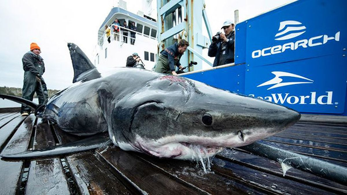 Researchers say 13-foot great white shark bitten by even bigger shark