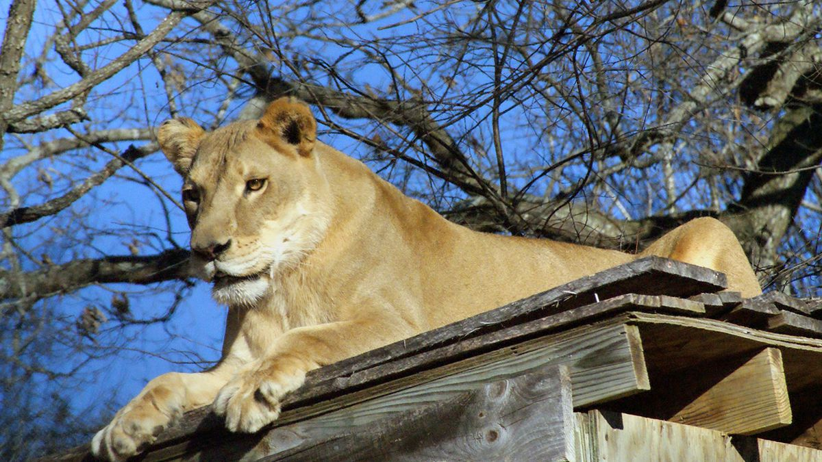 North Carolina lion dies after being overheated by high temps, shelter says