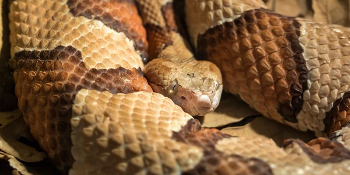 Expect to start seeing baby copperhead snakes emerge in North Carolina