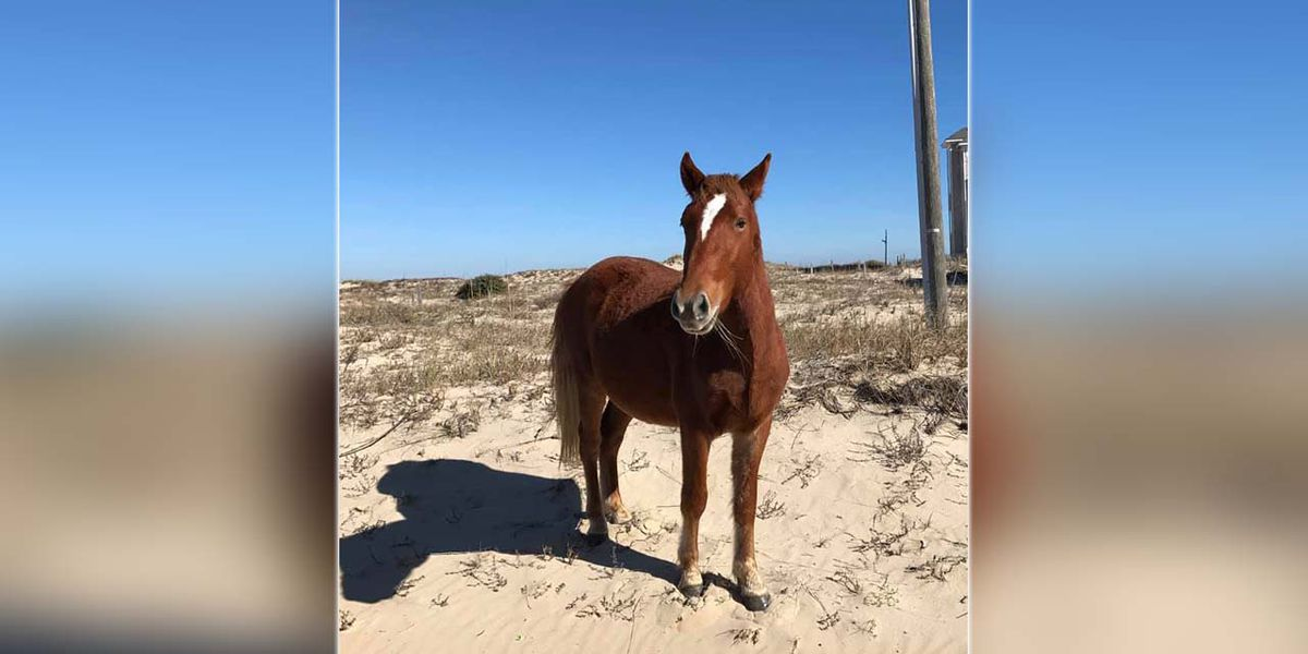 Wild horse dies after tangled in barbed wire near Outer Banks beach