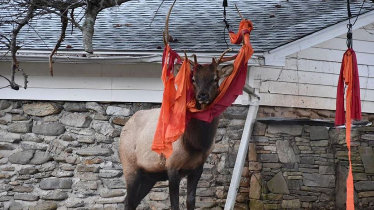 Elk gets tangled in hammock hanging in tree at NC home