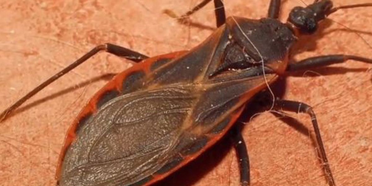 CDC warns about dangerous 'Kissing Bug' spreading north into Carolinas