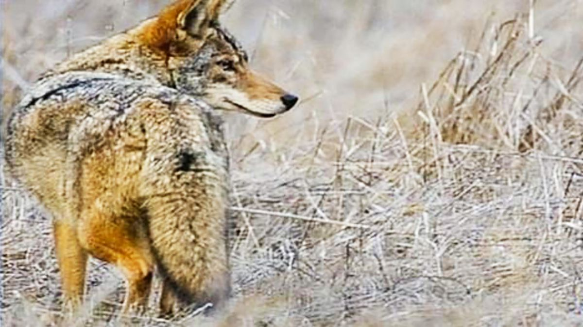 Coyote complaints cause Outer Banks town to hire trapper