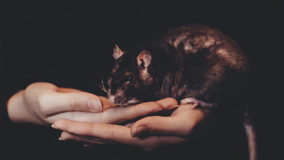 Mother warns others after 8-year-old gets rare rat-bite-fever from pet