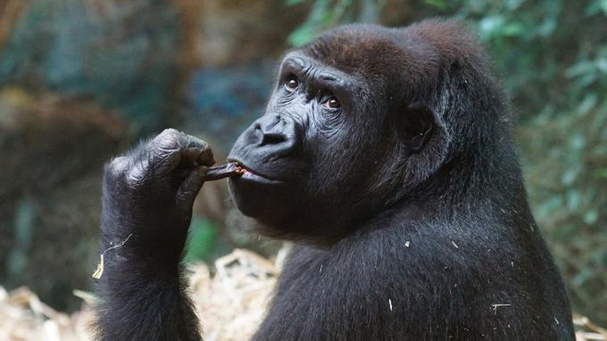 WATCH: Gorillas at South Carolina zoo try to avoid rain in relatable viral video