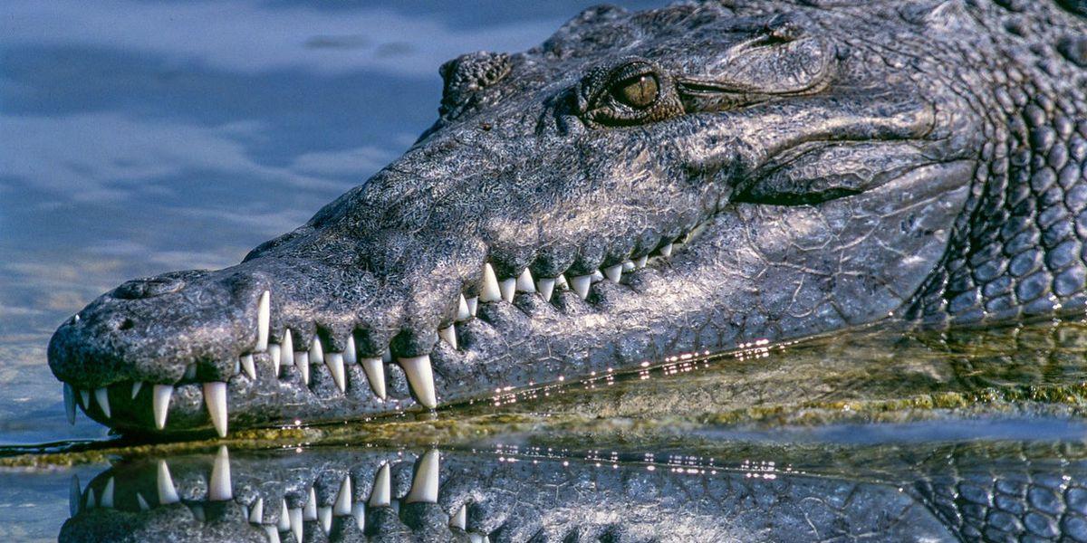 Two alligators seen along North Carolina beach