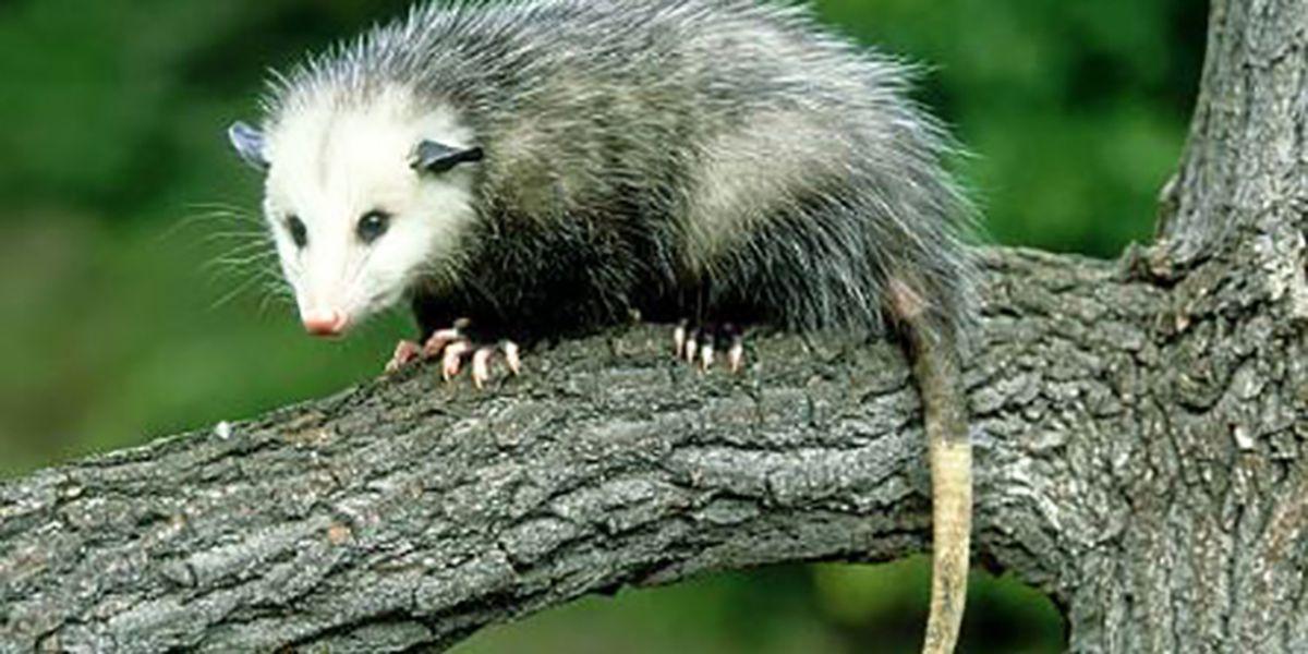 Duke University struggles to catch opossum lording over dorm