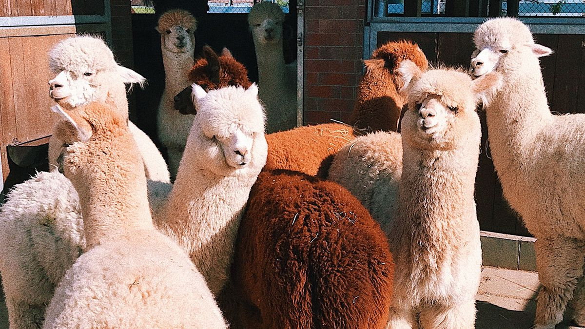 See hundreds of adorable animals at free alpaca show