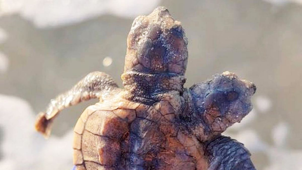 Sea turtle hatchling with 2 heads spotted at South Carolina beach